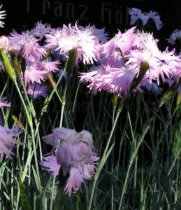 Pfingst Nelke Bluete pink Dianthus Gratianopolitanus 22