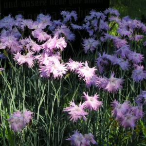 Pfingst Nelke Bluete pink Dianthus Gratianopolitanus 23