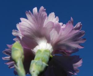Pfingst Nelke Bluete pink Dianthus gratianopolitanus 08