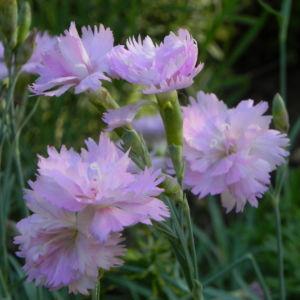 Pfingst Nelke Bluete pink Dianthus gratianopolitanus 14