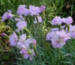 Bild: Pfingst-Nelke Blüte pink Dianthus gratianopolitanus