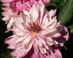 Pfingstrose Bluete Anemonenfoermig rose Paeonia suffruticosa 01