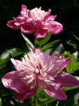 Pfingstrose Bluete Anemonenfoermig rose Paeonia suffruticosa 02