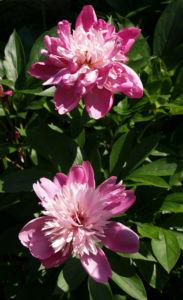 Bild: Pfingstrose Bluete Anemonenfoermig rose Paeonia suffruticosa