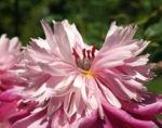Pfingstrose Bluete Anemonenfoermig rose Paeonia suffruticosa 06