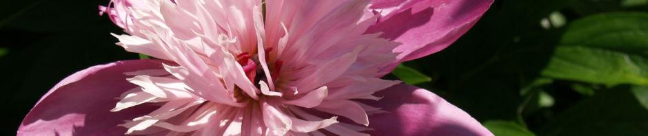 pfingstrose-bluete-rose-paeonia-suffruticosa