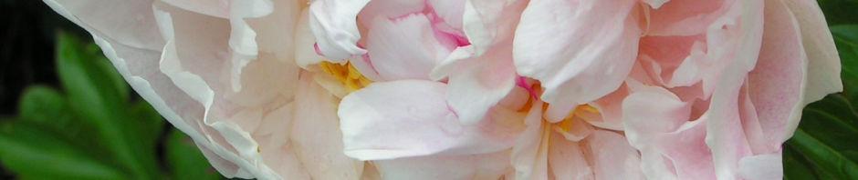 gemeine-pfingstrose-bluete-gefuellt-weiss-paeonia-officinalis