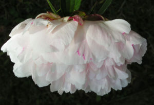 Pfingstrose Bluete gefuellt weiss Paeonia officinalis 03