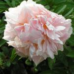 Bild: Gemeine Pfingstrose Blüte gefüllt weiß Paeonia officinalis