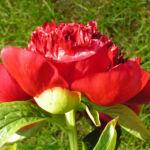 Bild:  Pfingstrose Blüte rot Staude Paeonia officinalis