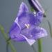Zurück zum kompletten Bilderset Pfirsichblättrige Glockenblume Blüte blau Campanula persicifolia