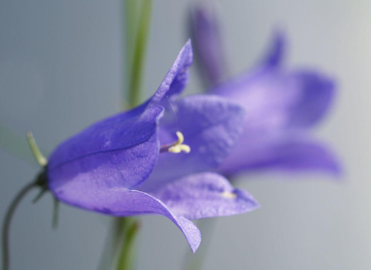 Pfirsichblaettrige Glockenblume Bluete blau Campanula persicifolia