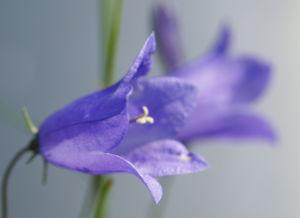 Pfirsichblaettrige Glockenblume Bluete blau Campanula persicifolia 03