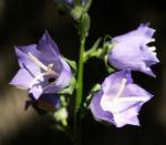 Pfirsichblaettrige Glockenblume Blute lila Campanula persicifolia 08