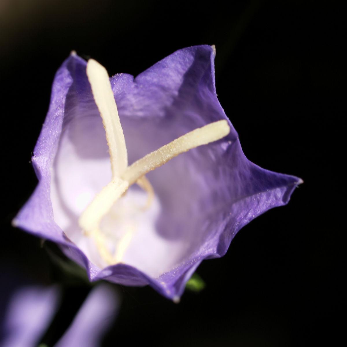 Pfirsichblaettrige Glockenblume Blute lila Campanula persicifolia