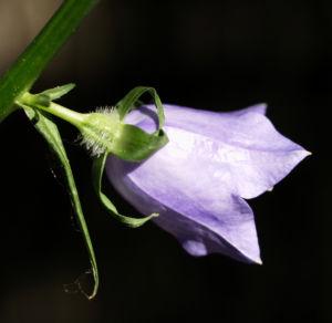 Pfirsichblaettrige Glockenblume Blute lila Campanula persicifolia 20