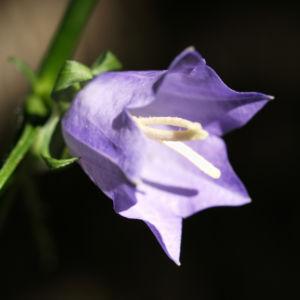 Pfirsichblaettrige Glockenblume Blute lila Campanula persicifolia 24