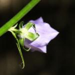 Pfirsichblaettrige Glockenblume Blute lila Campanula persicifolia 30