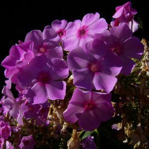 Phlox lila Bluete Phlox paniculata 03