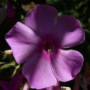 Phlox lila Bluete Phlox paniculata 05