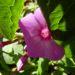 Zurück zum kompletten Bilderset Hoher Stauden-Phlox lila Blüte Phlox paniculata