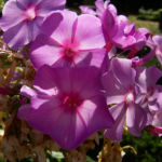 Phlox lila Bluete Phlox paniculata 07