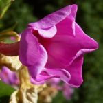 Phlox lila Bluete Phlox paniculata 08