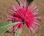 Pincushion Hakea Bluete pink Hakea laurina 05