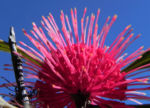 Pincushion Hakea Bluete pink Hakea laurina 07