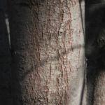 Bild: Pincushion Hakea Blüte pink Blatt grün Rinde grau Hakea laurina