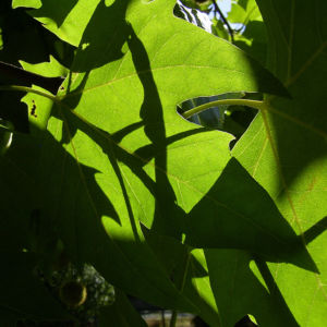 Platane Hybrid Frucht Platanus x hispanica 01