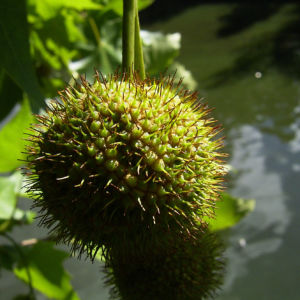 Platane Hybrid Frucht Platanus x hispanica 02