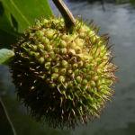 Bild: Platane Hybrid Frucht grünbraun Blatt grün Platanus x hispanica