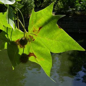 Platane Hybrid Frucht Platanus x hispanica 04