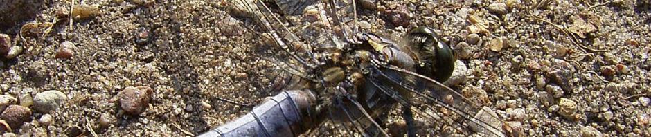 plattbauch-libelle-libellula-depressa