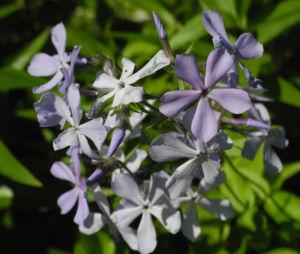Polster Flammenblume Bluete hellblau Phlox subulata 01