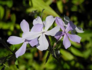 Polster Flammenblume Bluete hellblau Phlox subulata 05