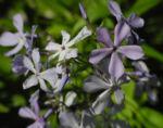Polster Flammenblume Bluete hellblau Phlox subulata 06