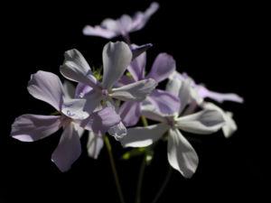 Polster Flammenblume Bluete hellblau Phlox subulata 10