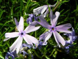 Polster Flammenblume Bluete hellblau Phlox subulata 12