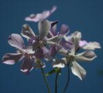 Polster Flammenblume Bluete hellblau_Phlox subulata 19