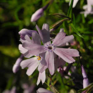 Bild: Polster Flammenblume Bluete hellblau Phlox subulata