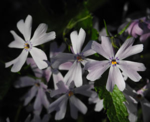 Polster Flammenblume Bluete hellblau Phlox subulata 24