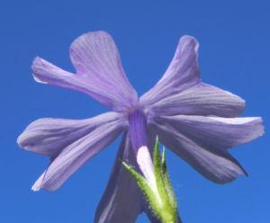Polster Flammenblume Bluete hellblau Phlox subulata 49