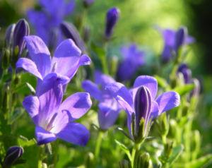 Polster Glockenblume Bluete blau Campanula portenschlagiana 05