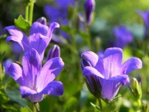 Polster Glockenblume Bluete blau Campanula portenschlagiana 06