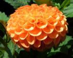Pompon Dahlie gefuellt Bluete orange Dahlia x hortensis 02