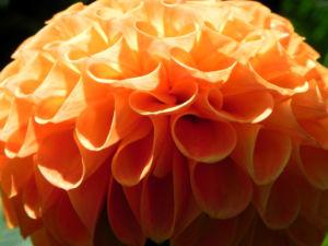 Pompon Dahlie gefuellt Bluete orange Dahlia x hortensis 03