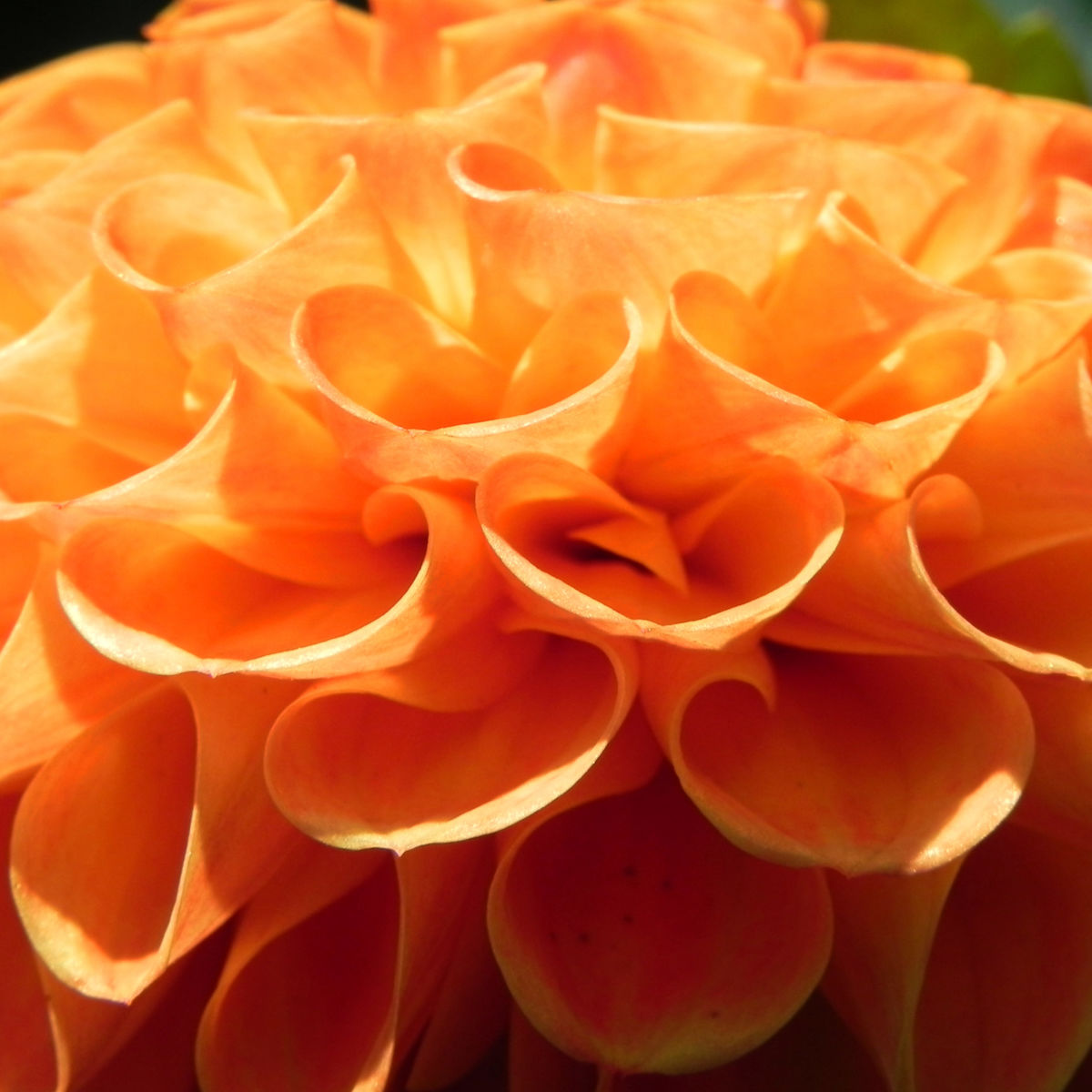 Pompon Dahlie gefuellt Bluete orange Dahlia x hortensis