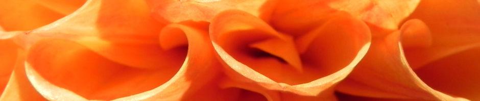 Anklicken um das ganze Bild zu sehen Pompon-Dahlie gefüllt Blüte orange Dahlia x hortensis
